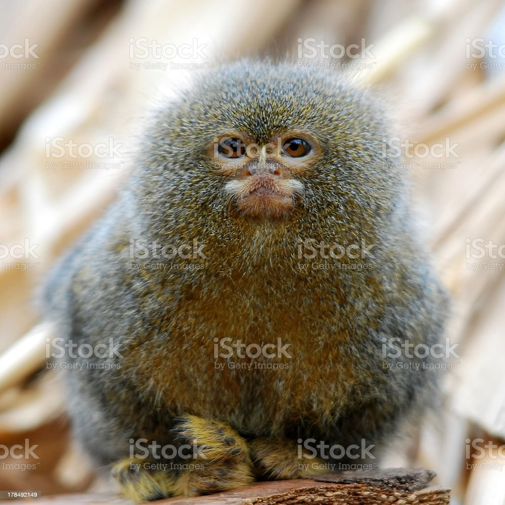 pygmy marmoset ape stock photo
