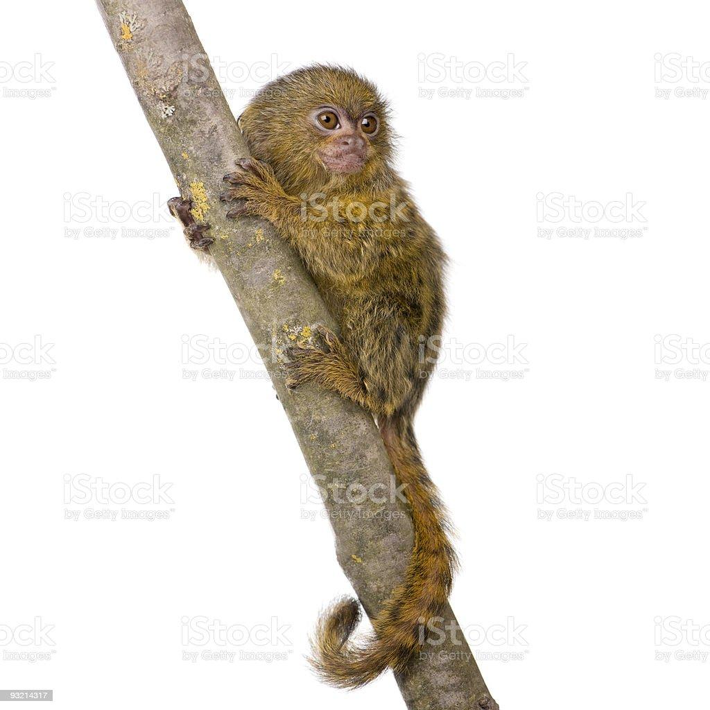 Pygmy Marmoset (5 weeks) - Callithrix (Cebuella) pygmaea stock photo