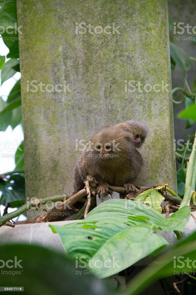 Pygmy marmoset monkey with baby stock photo
