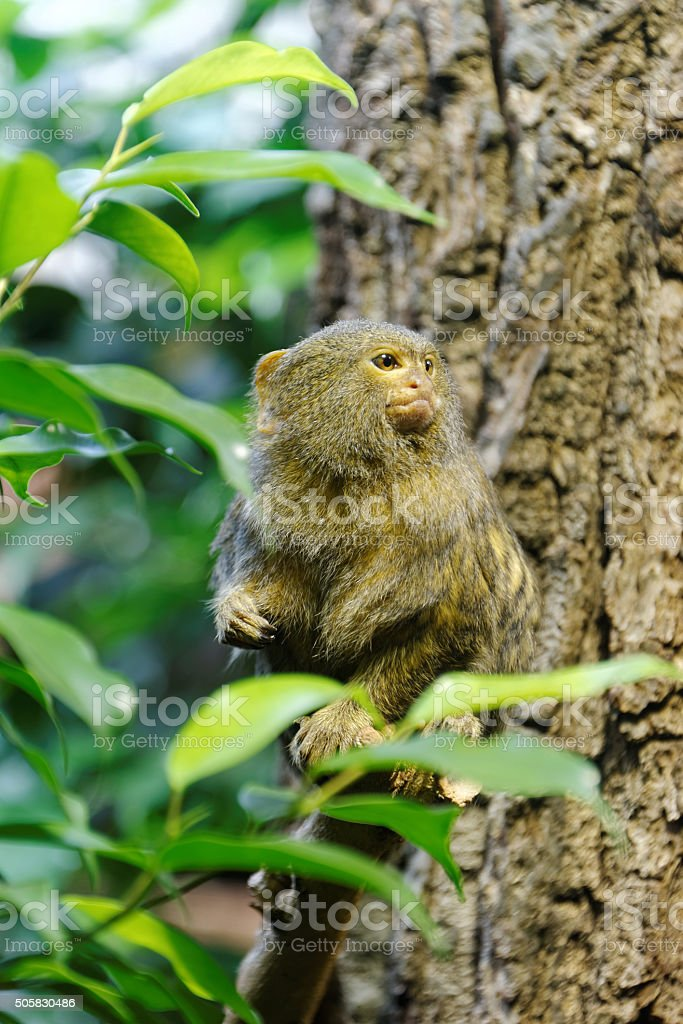 Pygmy marmoset stock photo