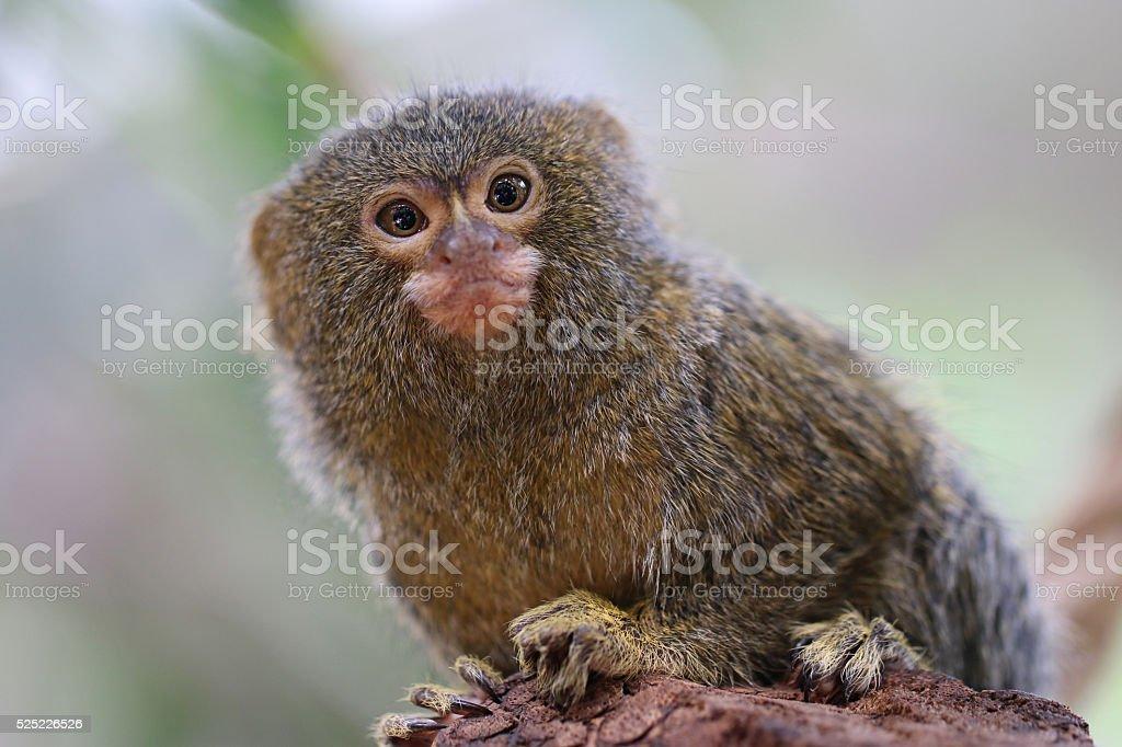 Pygmy monkey stock photo