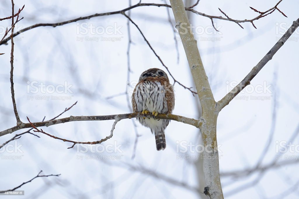 Pygmy Owl stock photo
