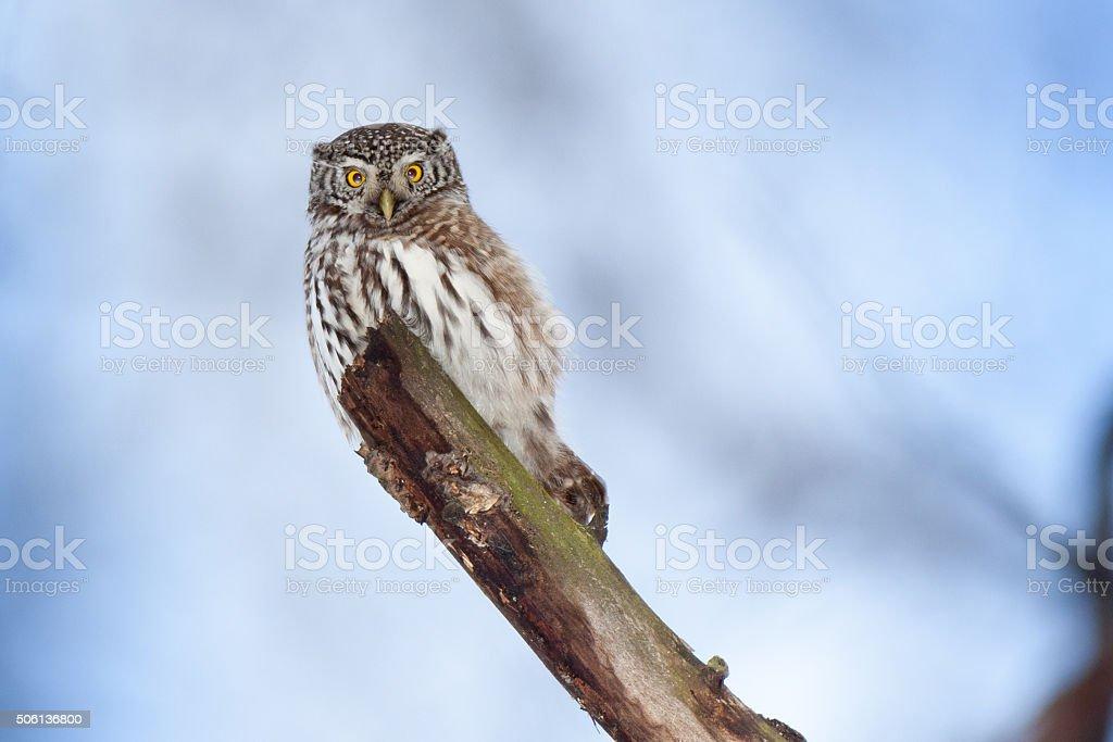 Pygmy Owl (Glaucidium passerinum) stock photo