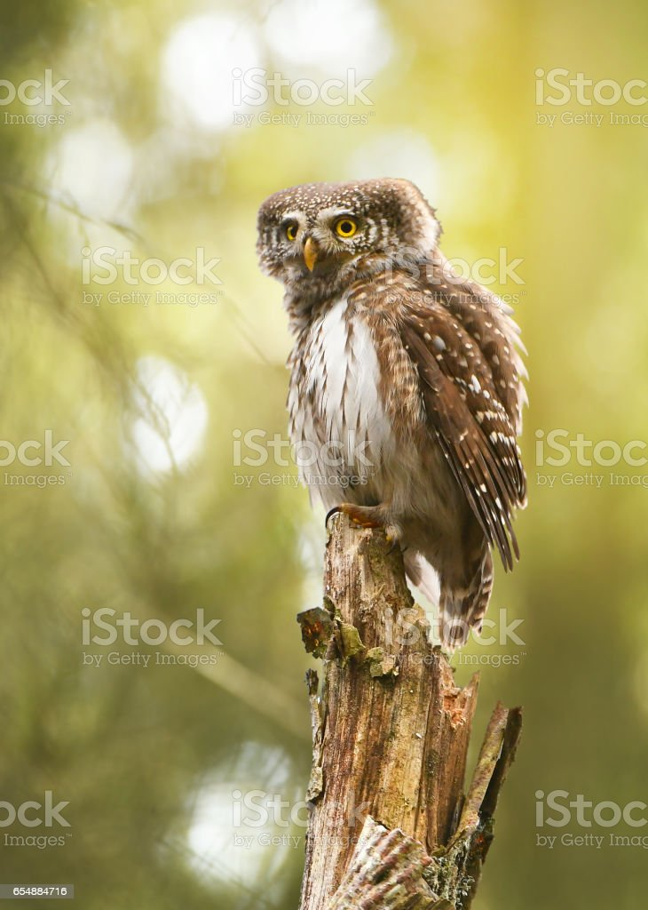 Pygmy owl stock photo