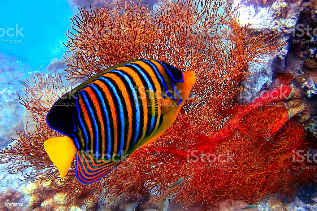 Pygoplites diacanthus stock photo