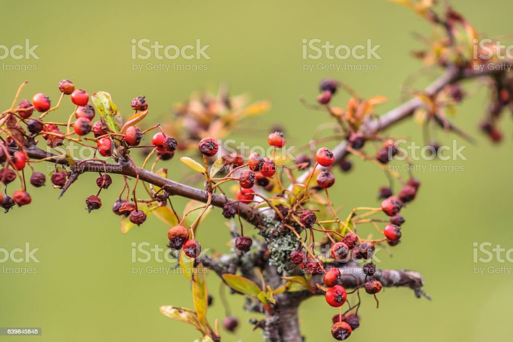 Pyracantha berries on a bush stock photo