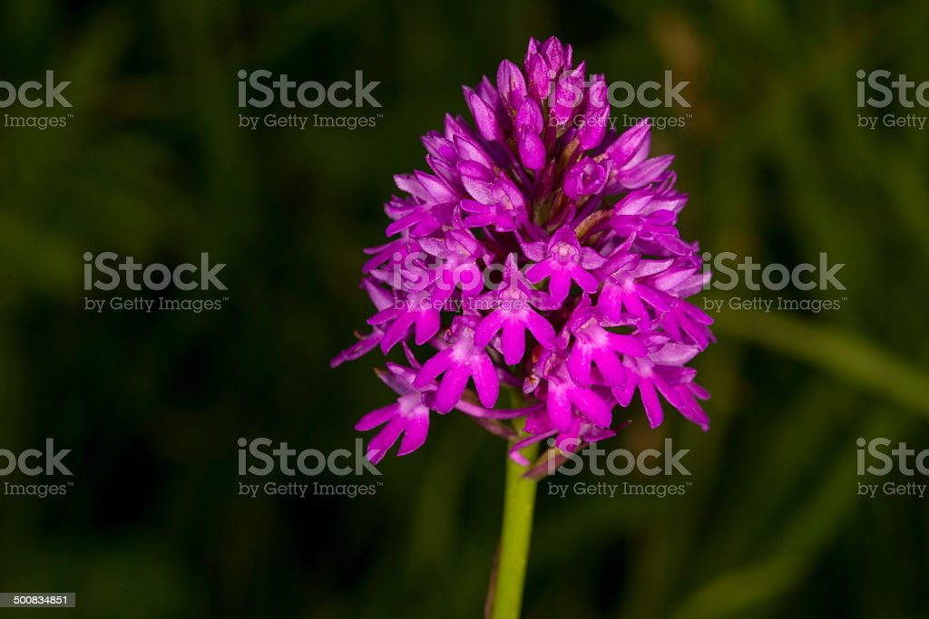 Pyramidal Orchid - Anacamptis pyramidalis royalty-free stock photo