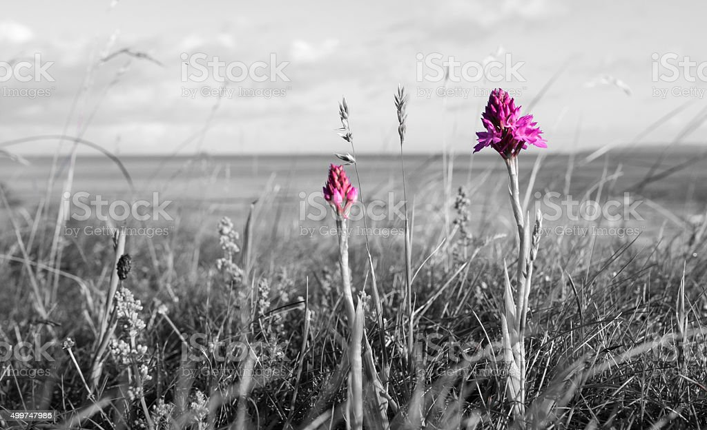 Pyramidal Orchid highlighted in Black and White stock photo