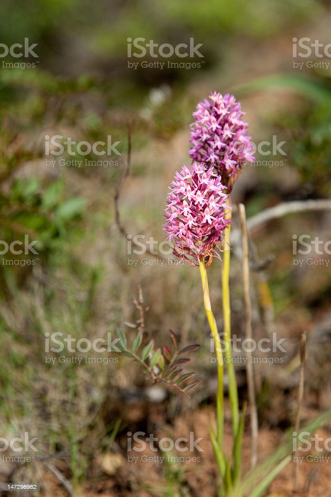 Pyramidal Orchid royalty-free stock photo