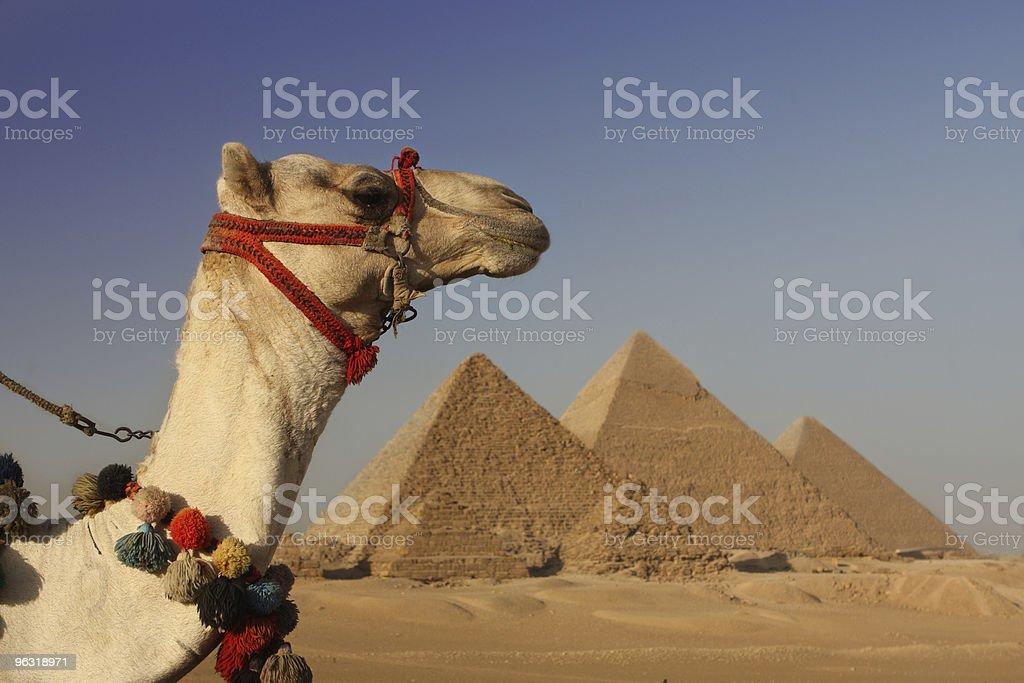 pyramids and camel egypt royalty-free stock photo