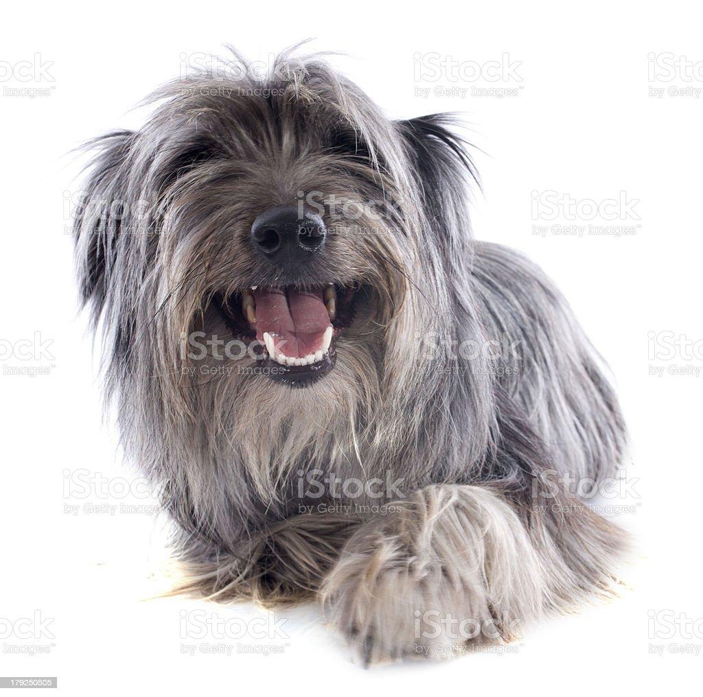Pyrenean sheepdog royalty-free stock photo
