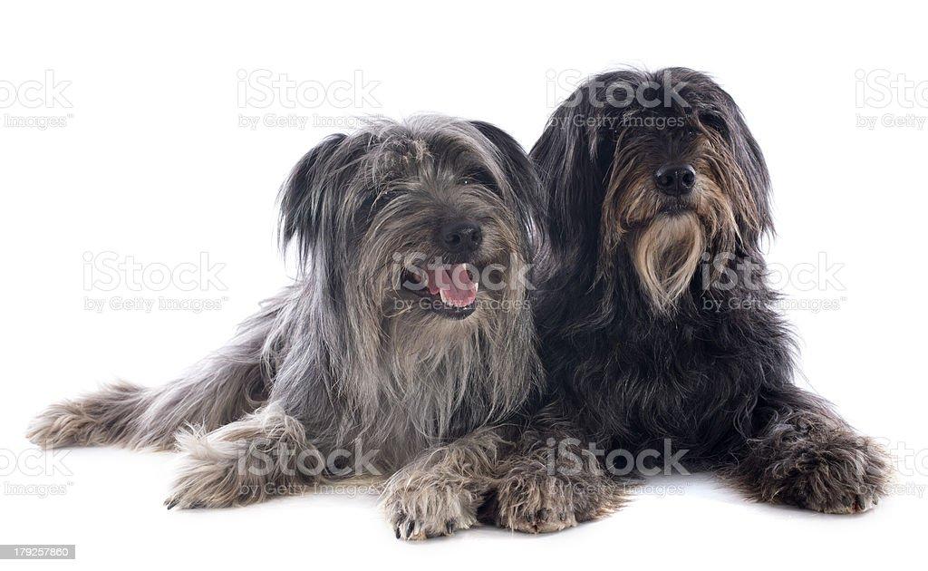 Pyrenean sheepdogs royalty-free stock photo