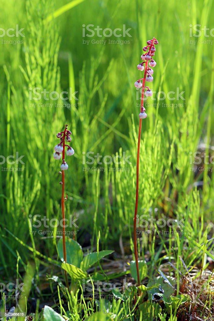 Pyrola minor. Two plants at evening light stock photo