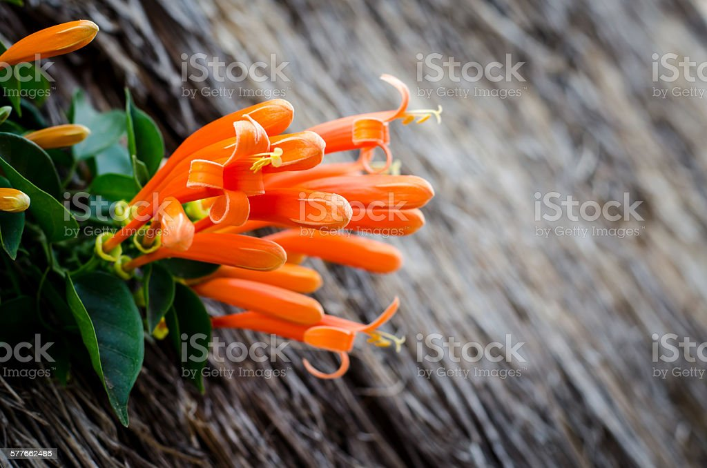 Pyrostegia Venusta stock photo