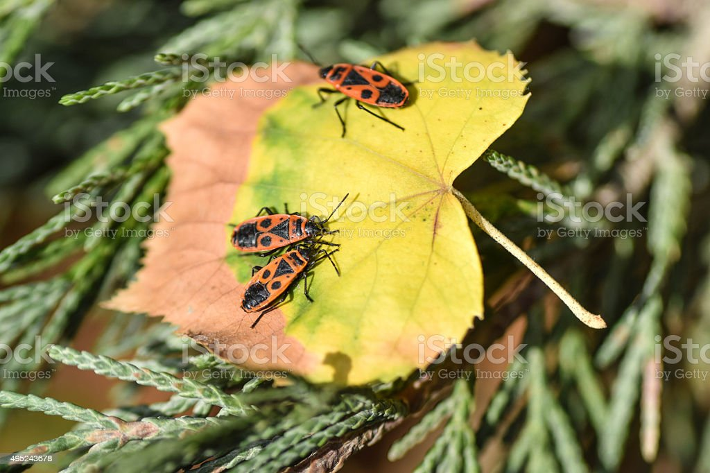 Pyrrhocoris apterus , Insects in Autumn stock photo