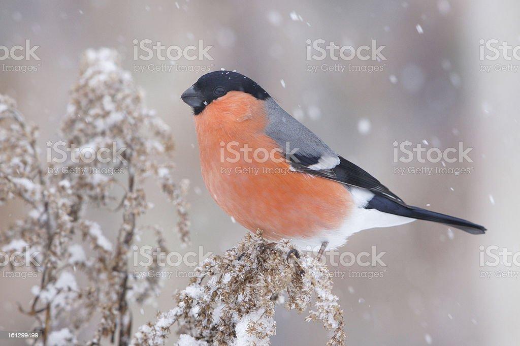 Pyrrhula in winter royalty-free stock photo