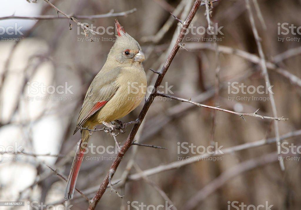 Pyrrhuloxia Female, Desert Cardinal, Arizona royalty-free stock photo