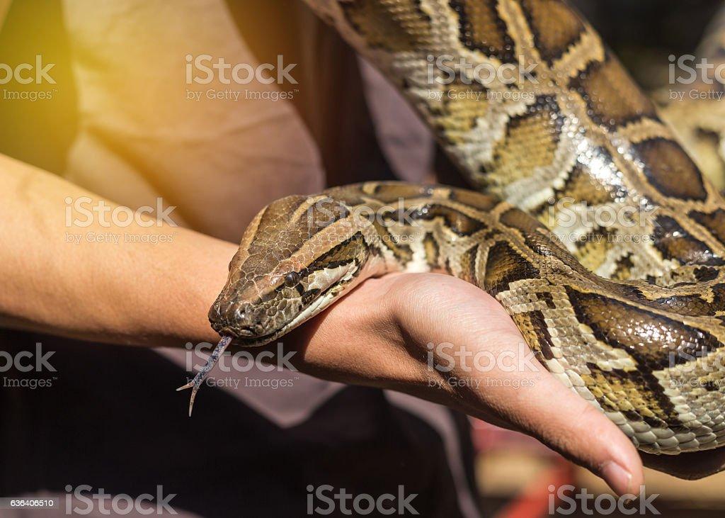 python bivittatus or burmese python snake stock photo