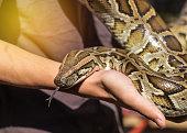 python bivittatus or burmese python snake