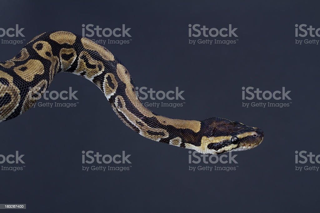 Python Crawl stock photo