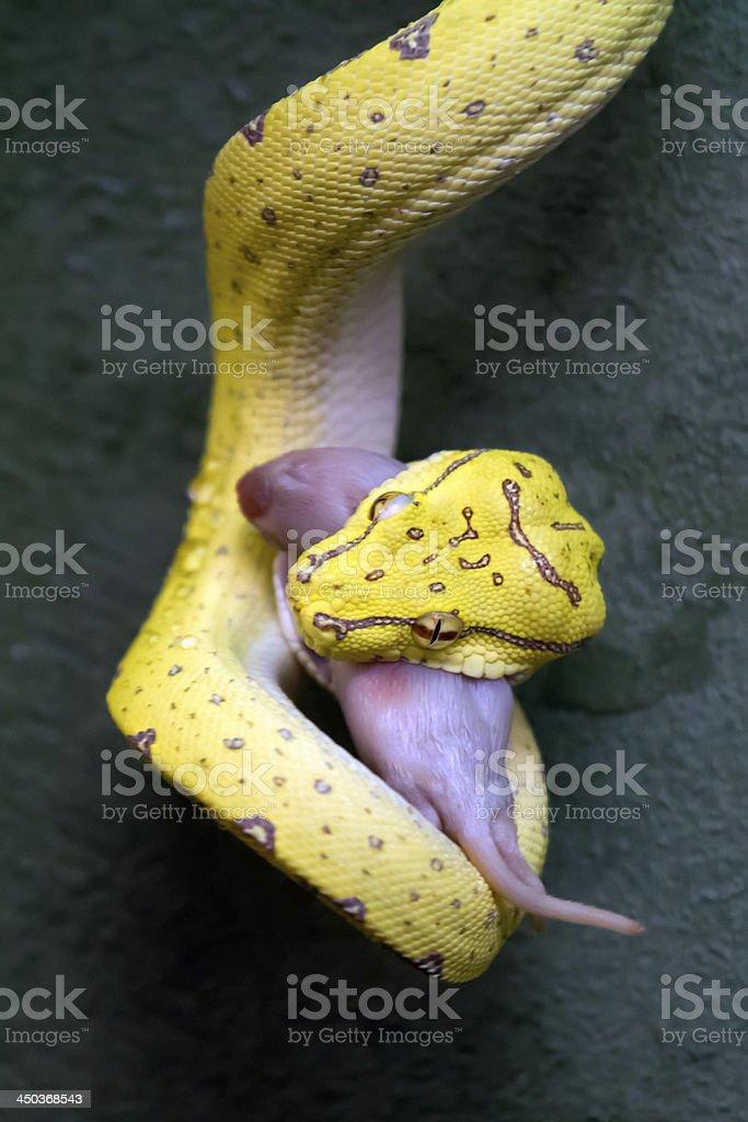 Python eating Mouse stock photo