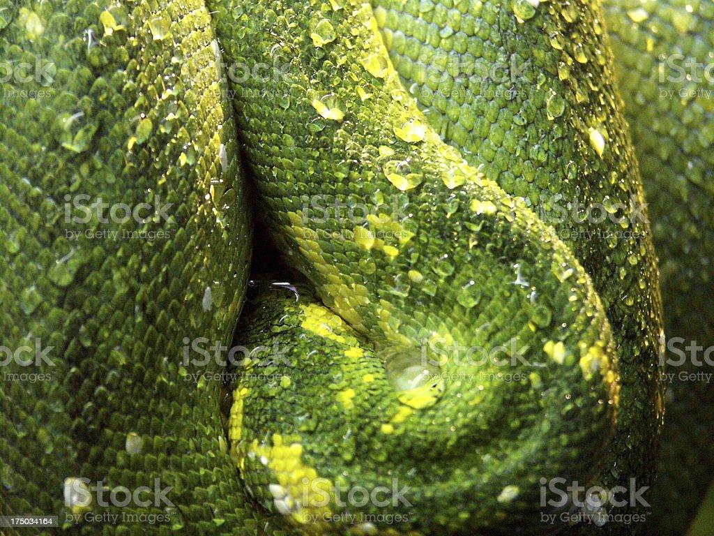 python green mama - Grüne Mamba Schlange nasse Haut stock photo