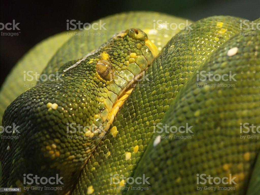 python green mamba snake on black background macro close-up stock photo