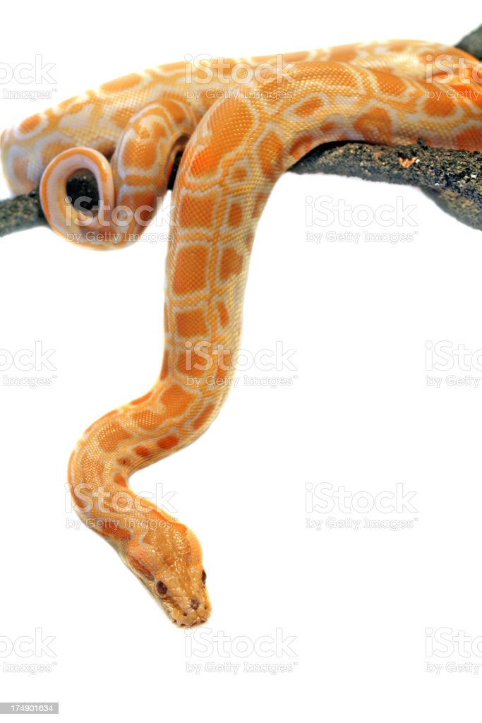 A python hanging on a tree on a white background royalty-free stock photo