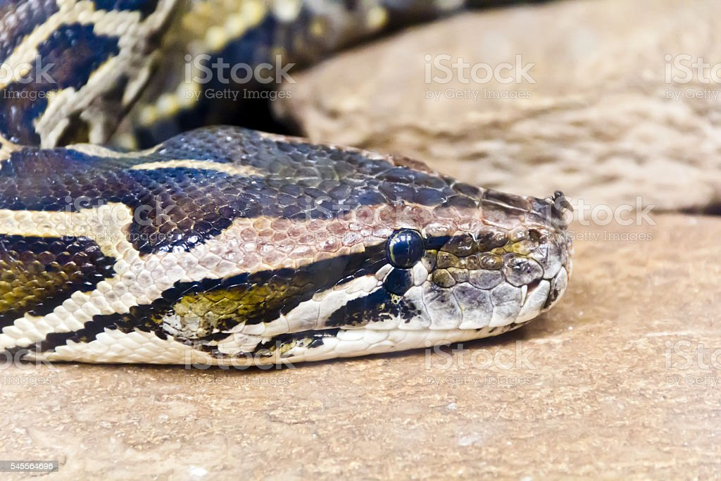 Python head close up with fly on the nose stock photo