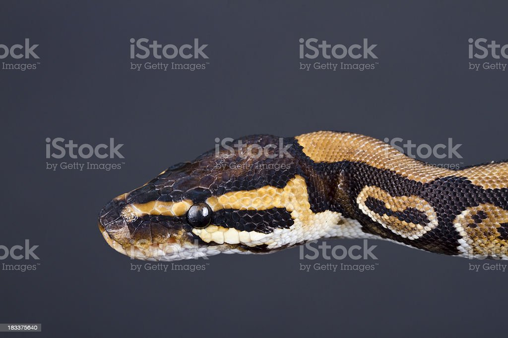Python Head royalty-free stock photo