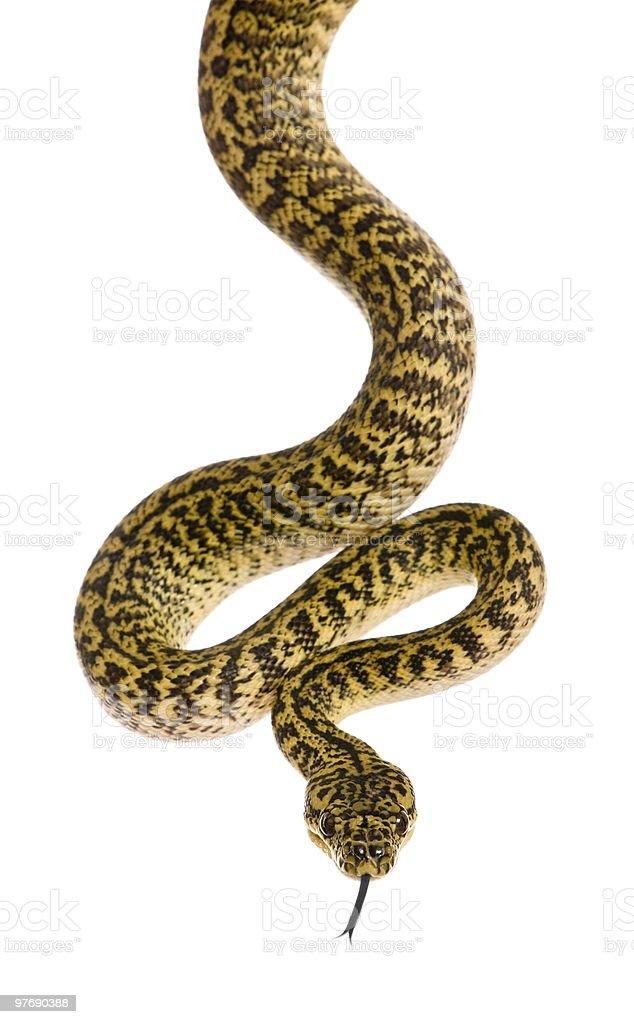 A python known as morelia spilota variegata royalty-free stock photo