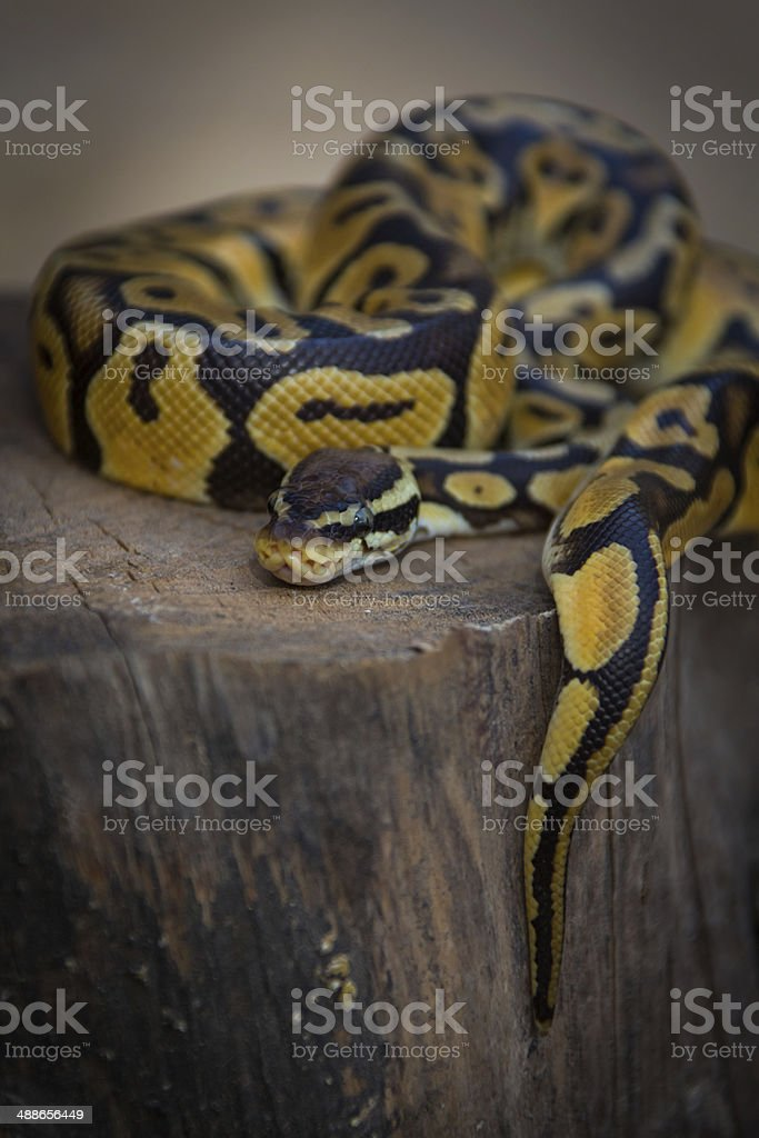 Python on a tree stump stock photo