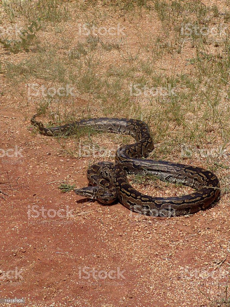 python royalty-free stock photo