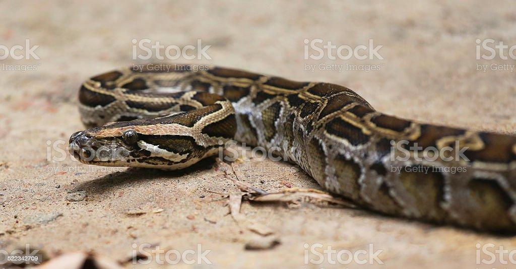 Python stock photo