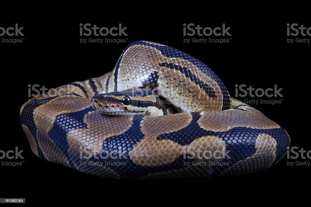 Python regius on a black background royalty-free stock photo