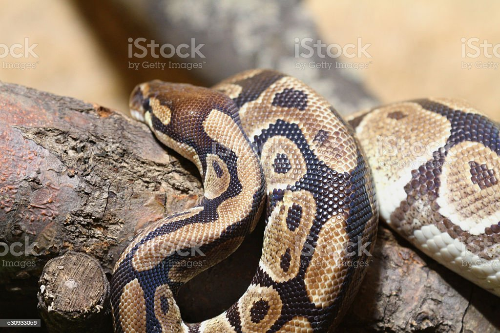 Python Regius on a Branch stock photo