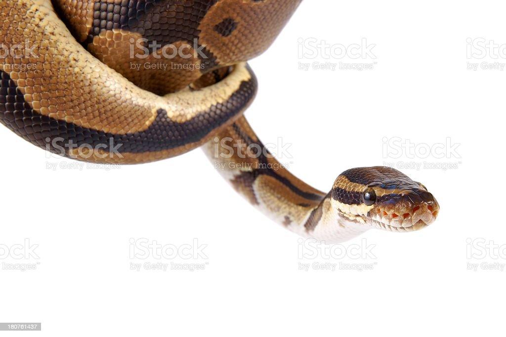 Python regius on white background stock photo