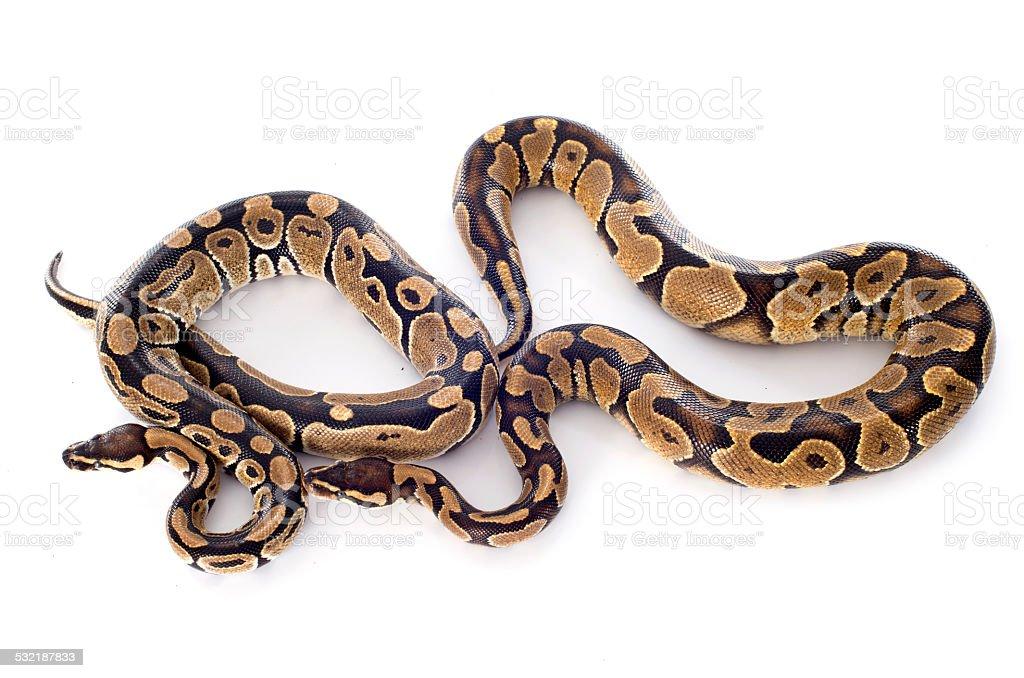 Python regius stock photo