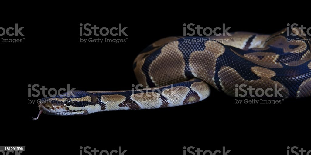 Python regius with tongue sticking out, on a black background royalty-free stock photo