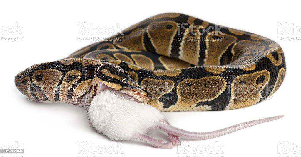 Python Royal eating a mouse stock photo