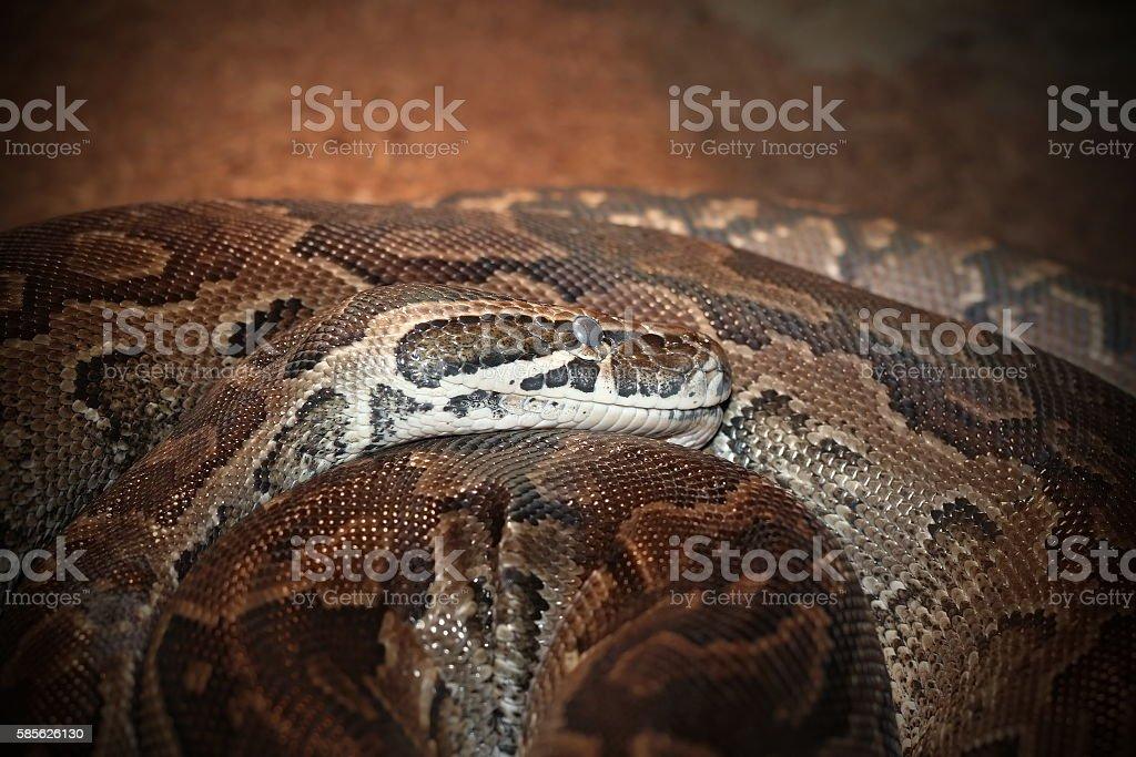 python sebae natalensis stock photo