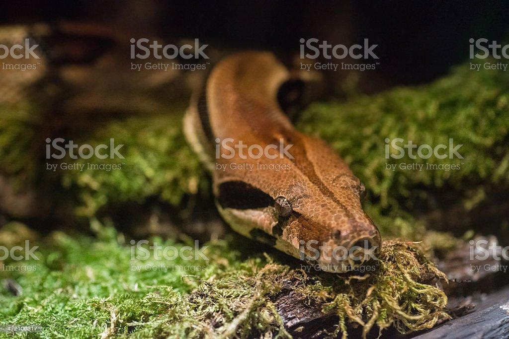 python snake on floor macro close-up stock photo