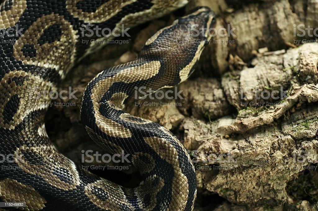 Python snake on tree stock photo