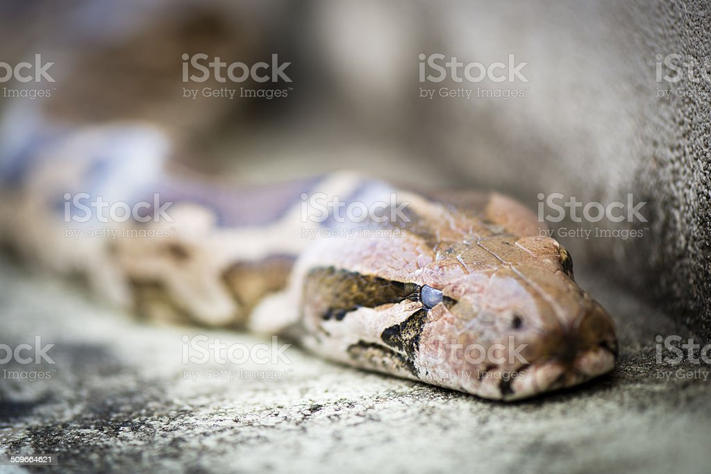 Python snake, the sneaking serpent stock photo