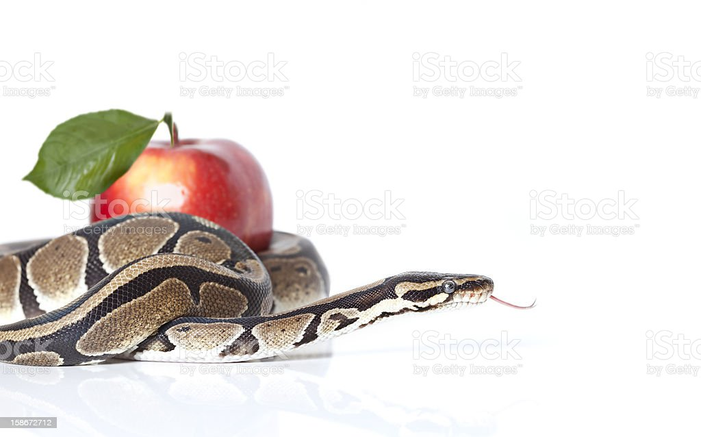 Python Snake with red apple stock photo