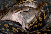 Python swallowing bandicoot