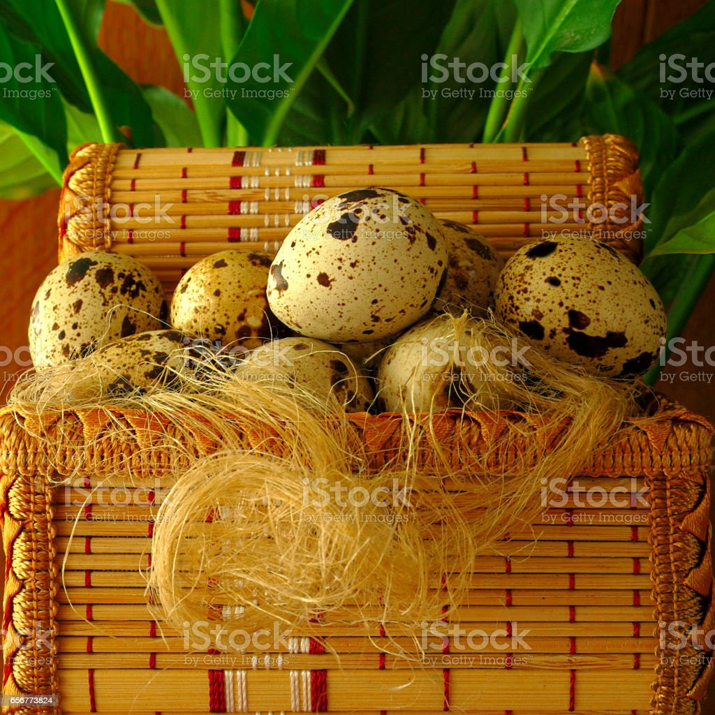 quail eggs, in a decorative basket and fiber, green plant stock photo