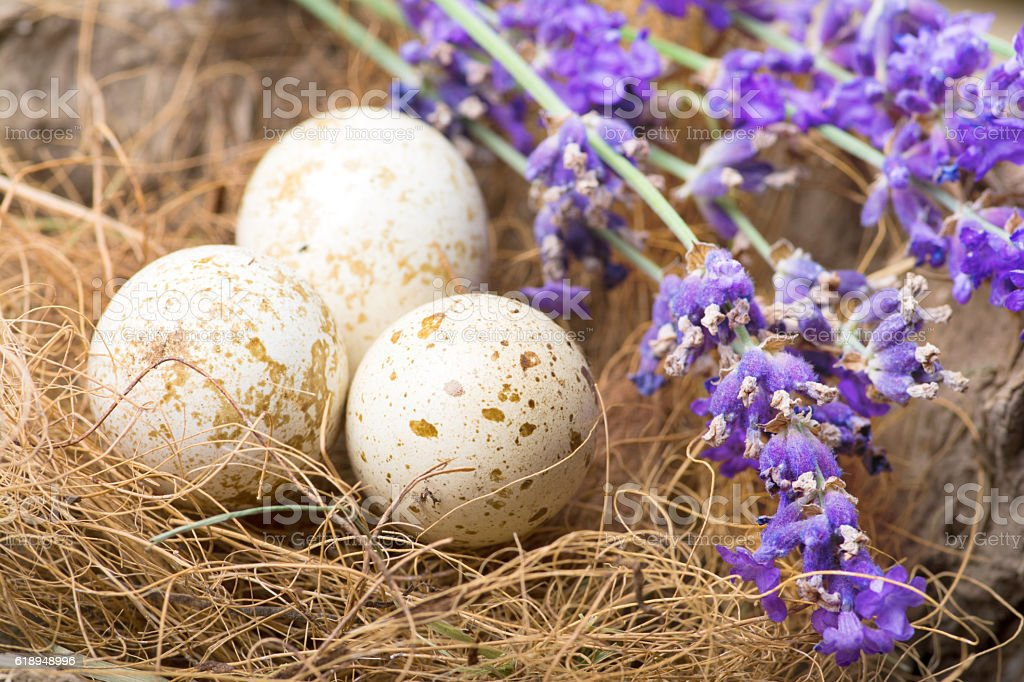 Quail Eggs in Nest with Lavender stock photo