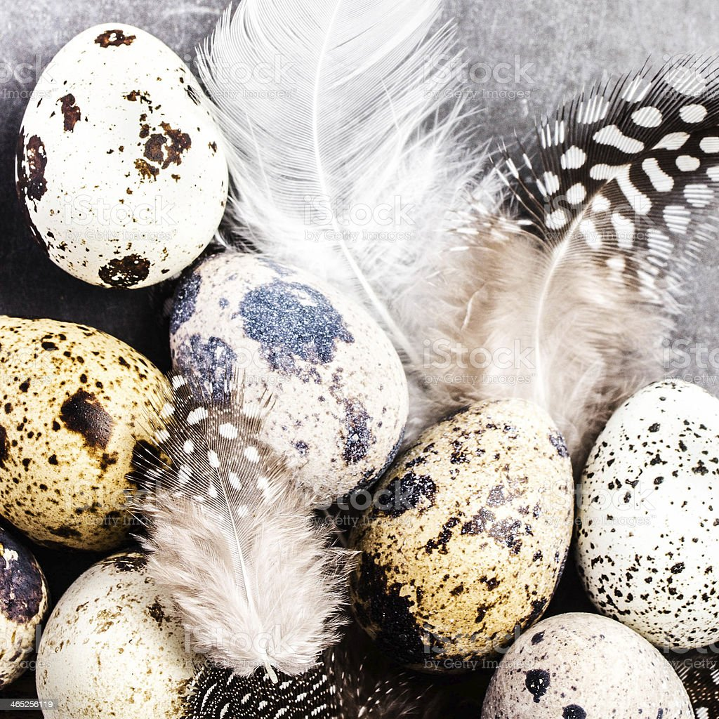 Quail eggs with feathers on vintage grey scratched  background stock photo