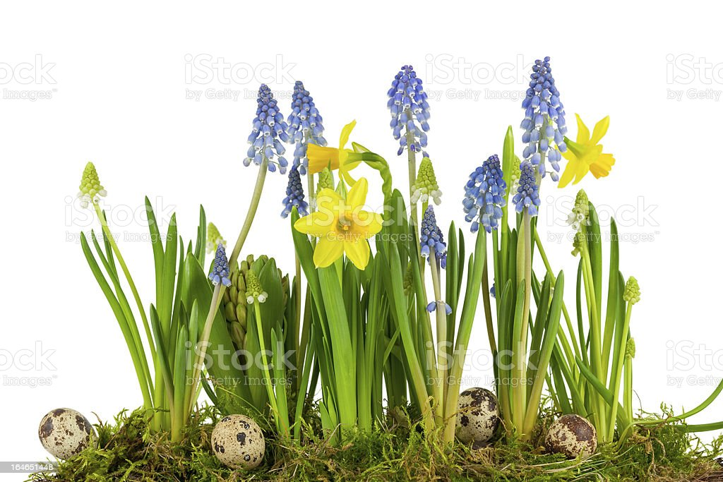 Quail eggs with spring flowers royalty-free stock photo